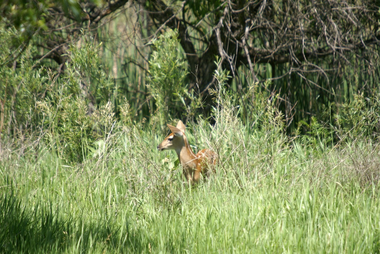 Deer and two fawns near Merriman, NE