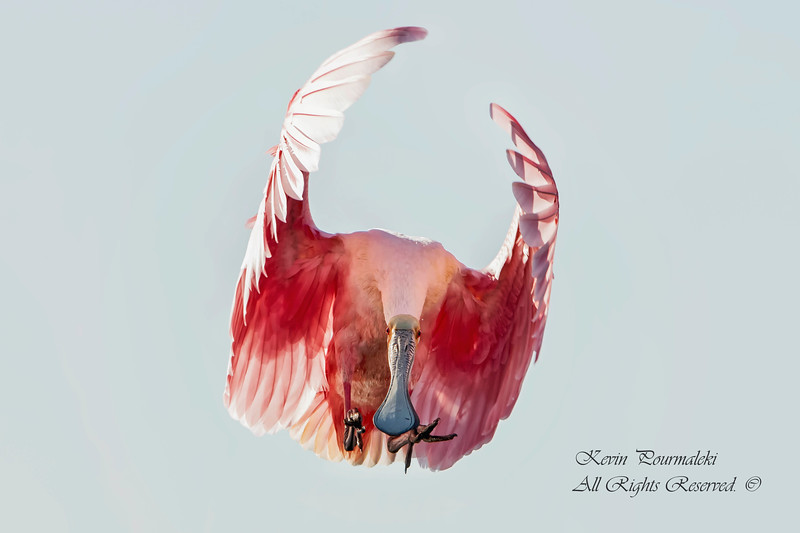 Roseate Spoonbill, South Florida