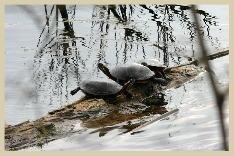 Turtles - Michigan by Paw Prints Nature & Wildlife Photography