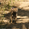 A Coyote pup had been drinking in a nearby lake and as he came up the embankment, he was surprised to see me, and quickly ran away with his sibling in tow.