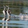 Western Grebe.  Clear Lake, California.