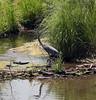 Blue Heron s
