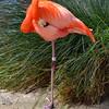 Flamingo, San Diego Zoo, San Diego, CA