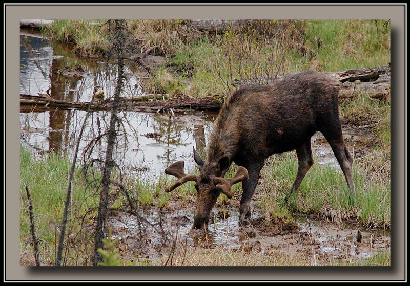 Male Moose just outside Banff Alberta.  Antlers still growing - didn't seem too big, maybe only 2 or 3 years old.  Note it has some kind of wound or cyst on its' side.  Sony Alpha A700 + Sigma 50-500.
