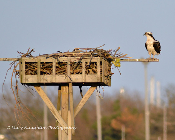 Osprey guarding nest, Lido Nature Preserve, Lido Beach, NY