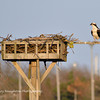 Osprey guarding nest, Lido Nature Preserve, Lido Beach, NY