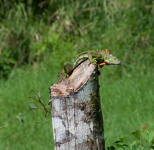 I spotted this iguana while walking into a small town in Costa Rica. As you can see, this is no little iguana and wasn't afraid of my presence.
