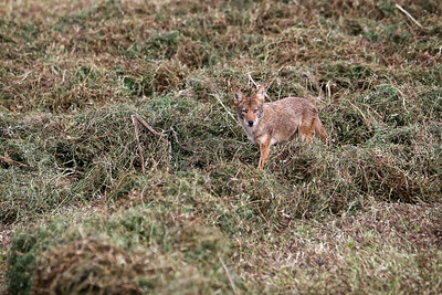 Coyote in the hay field