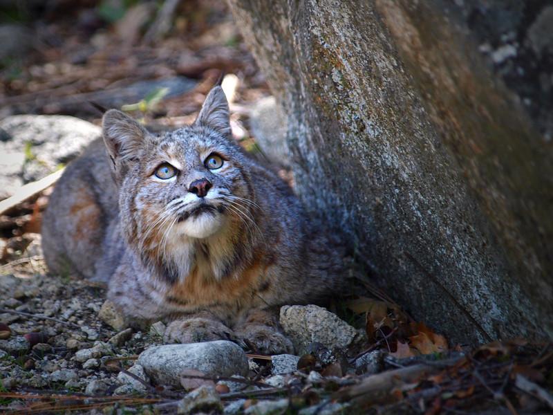 Bobcat taken in Yosemite National Park.