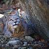 Bobcat taken in Yosemite National Park.