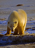 Polar Bear in Churchhill Manitoba at Sunset. You don't see the sun alot in Churchill in November.