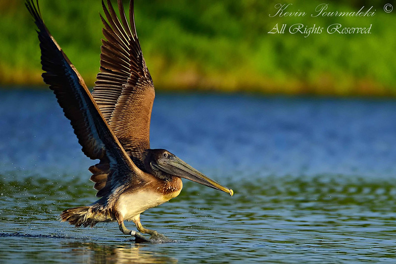 Brown Pelican.  Everglades National Park, South Florida.