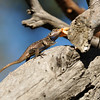 A Western Fence Lizard eating a grasshopper