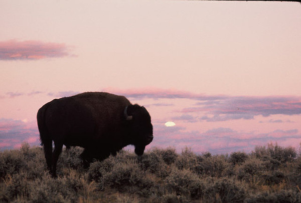 Sunset moonrise on a buffalo