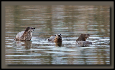 Family of river otters seen at Surrey Lakes park, Surrey, BC.  2010-01-10  Sony A700 + Sigma 50-500.