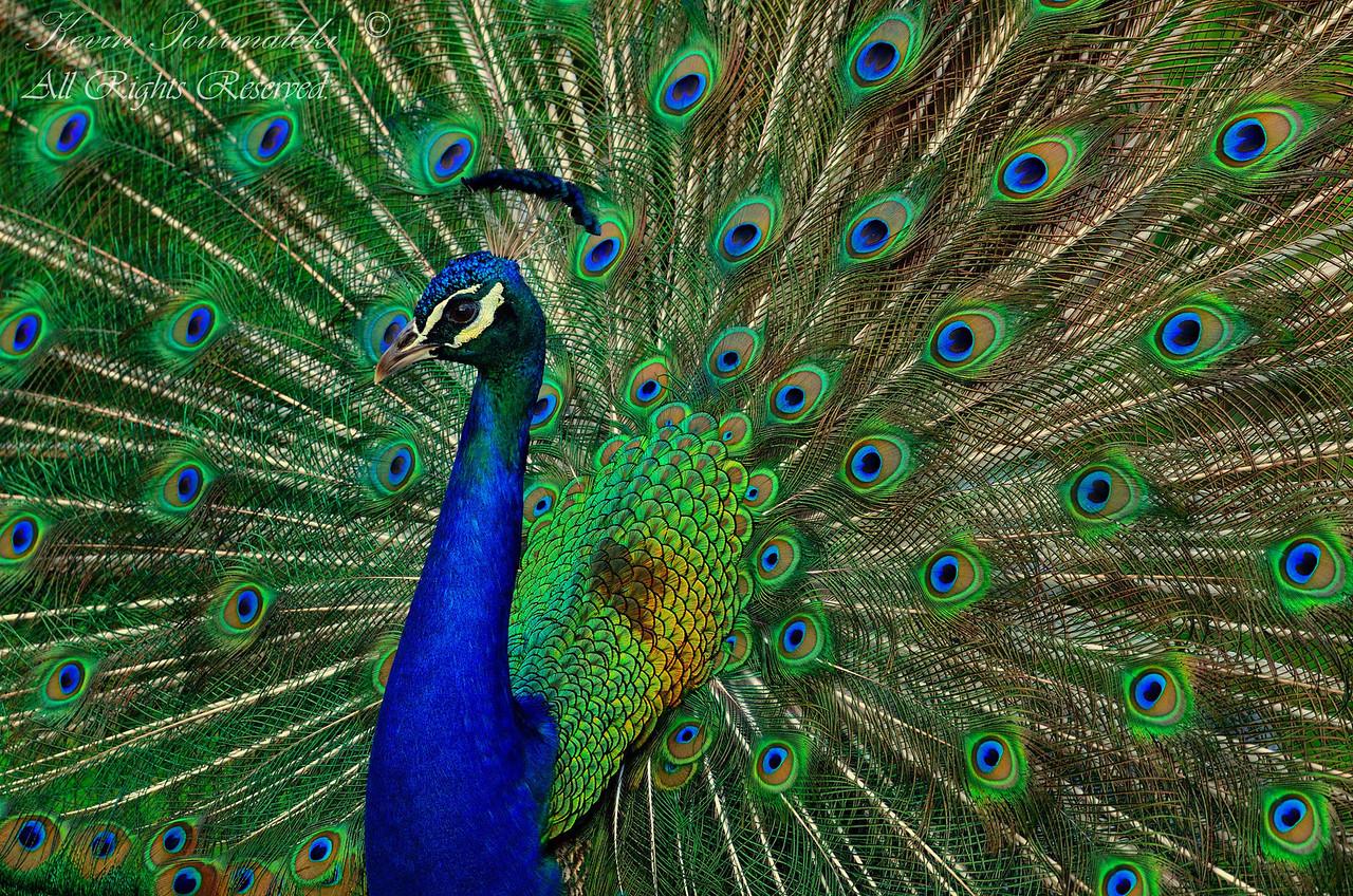Peacock. Everglades Holiday Park, South Florida.