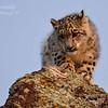 Snow Leopard Cub. 3D Ranch. Columbia Falls, Montana.