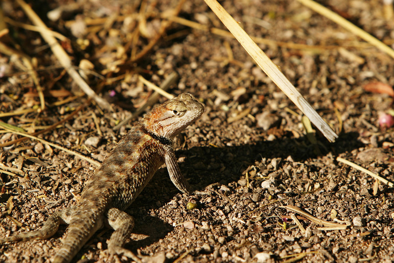 A lizard from the Arizona desert is camouflaged with colors on its scales that blend in against the desert background.