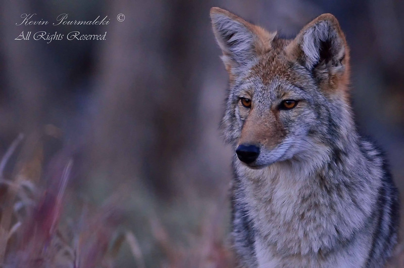 Coyote. Grand Teton National Park, Wyoming.