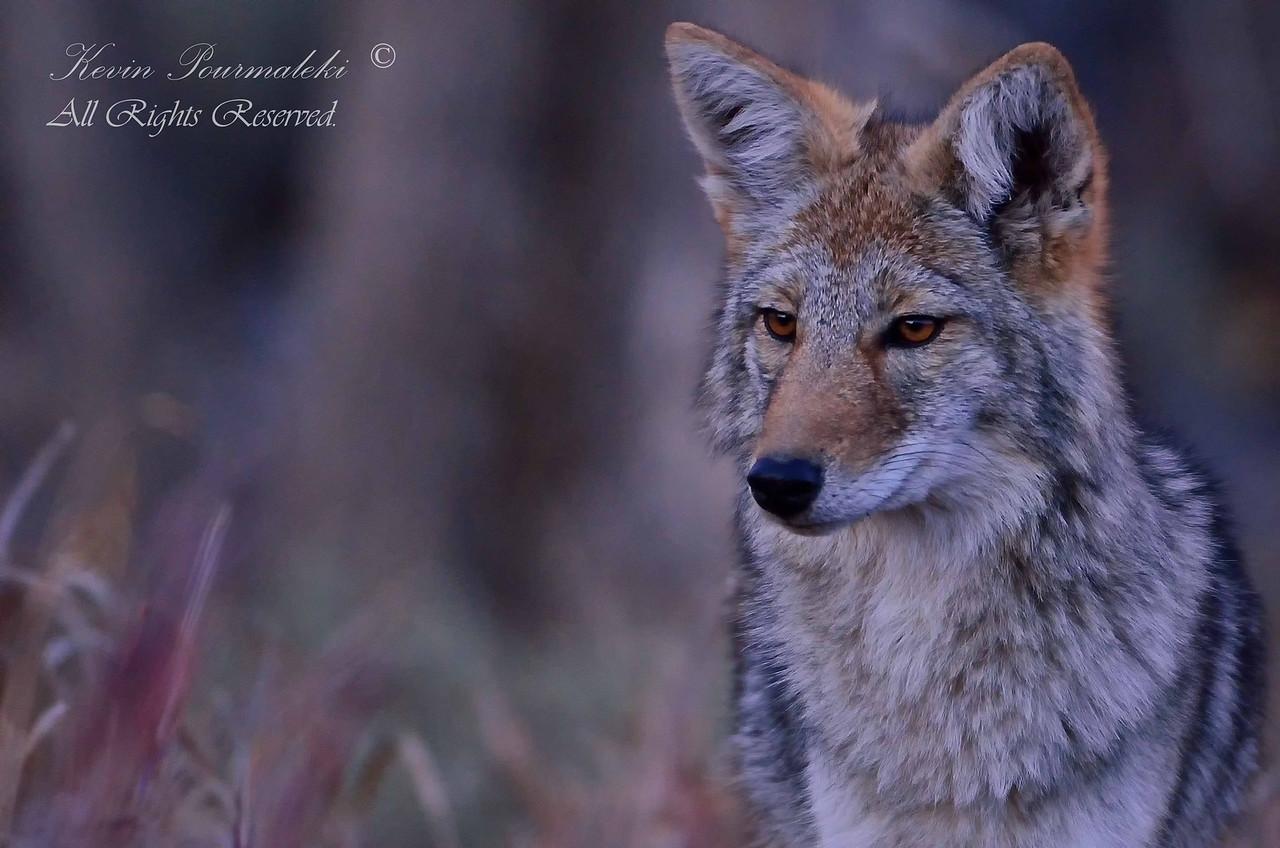 Coyote. Grand Teton National Park, Wyoming.