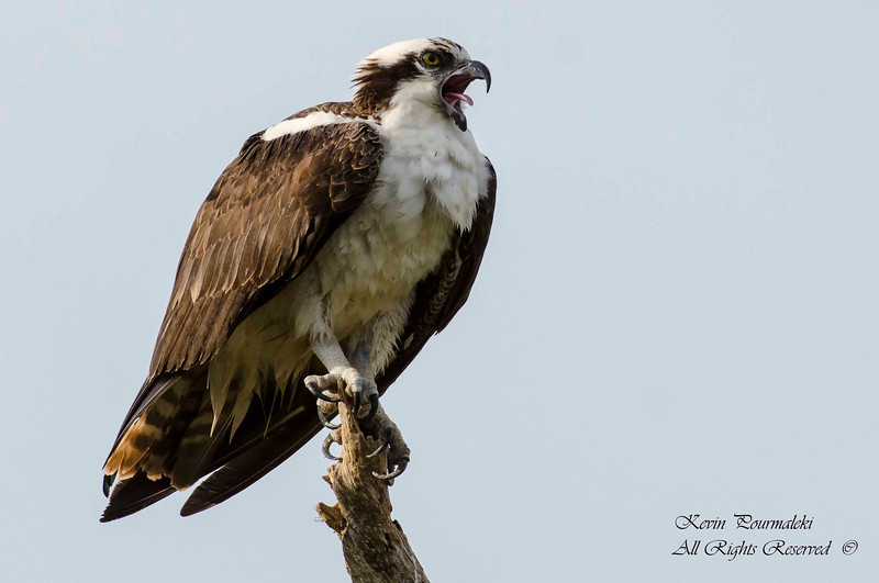 Osprey. Everglades National Park, South Florida.