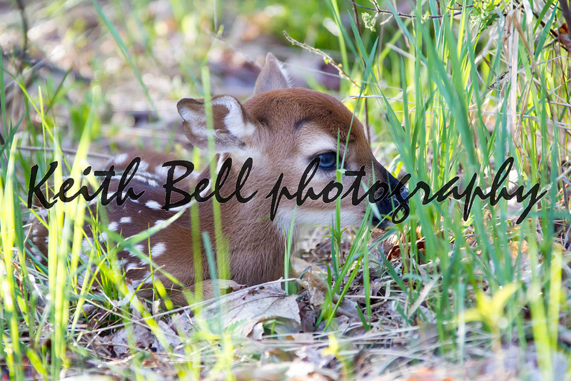 A tiny whitetail deer fawn only a couple of days old hiding in the grass on the edge of a forest.