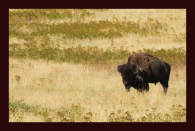 Lone Bull Bison