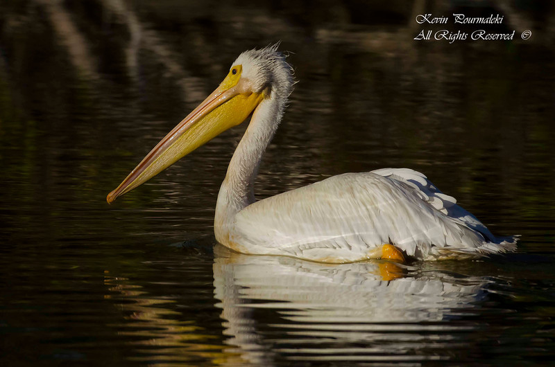 White Pelican. Everglades National Park, South Florida.