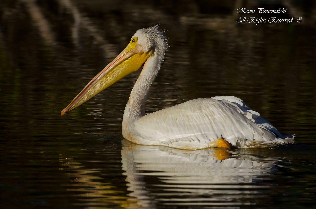 White Pelican. Everglades National Park, South Florida.