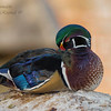 Wood Duck, New Mexico.