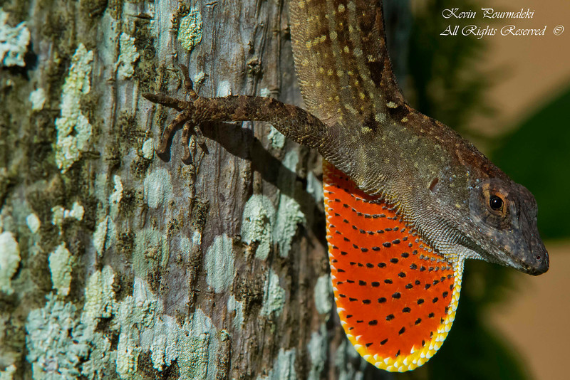 Brown Anole Lizard, South Florida.