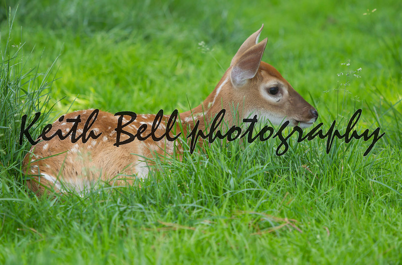 A whitetail deer fawn laying in the grass with her mother a few feet away.