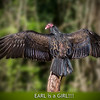 Turkey Vulture wing span