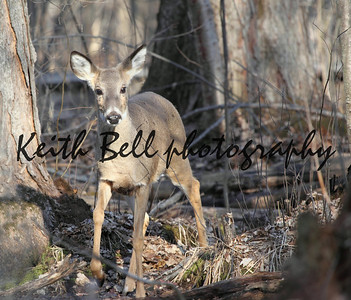 Up close photo shot of a whitetail deer doe in the woods at the end of winter.