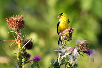 American Goldfinch  Along the Iowa River in Iowa City, Iowa