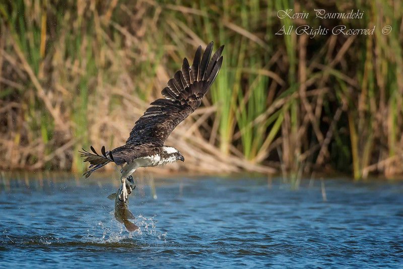 Osprey, Everglades National Park, South Florida.