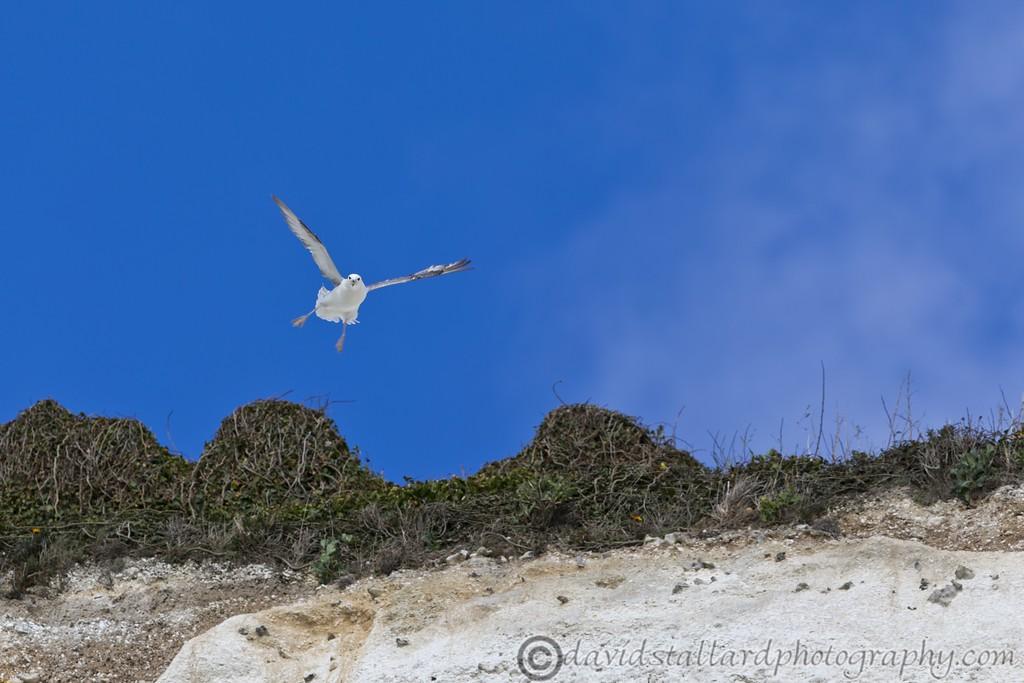 IMAGE: http://www.davidstallardphotography.com/Animals/Wildlife/i-sDBz44F/0/XL/White%20Cliffs%20of%20Dover%2018-04-15%20%200026-XL.jpg