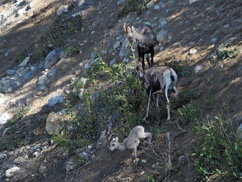Stone sheep along the Alcan Highway near Muncho Lake