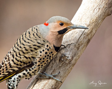 Male Yellow-Shafted Northern Flicker
