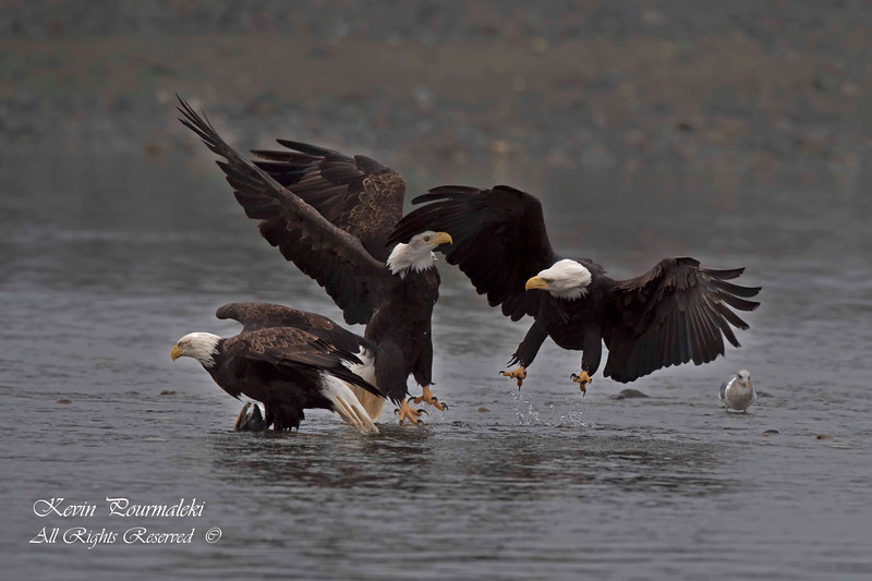 Bald Eagles.  Haines Alaska.