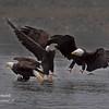 Bald Eagles.  Haines Alaska.