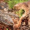 Lynx Cubs.  Northern Montana.