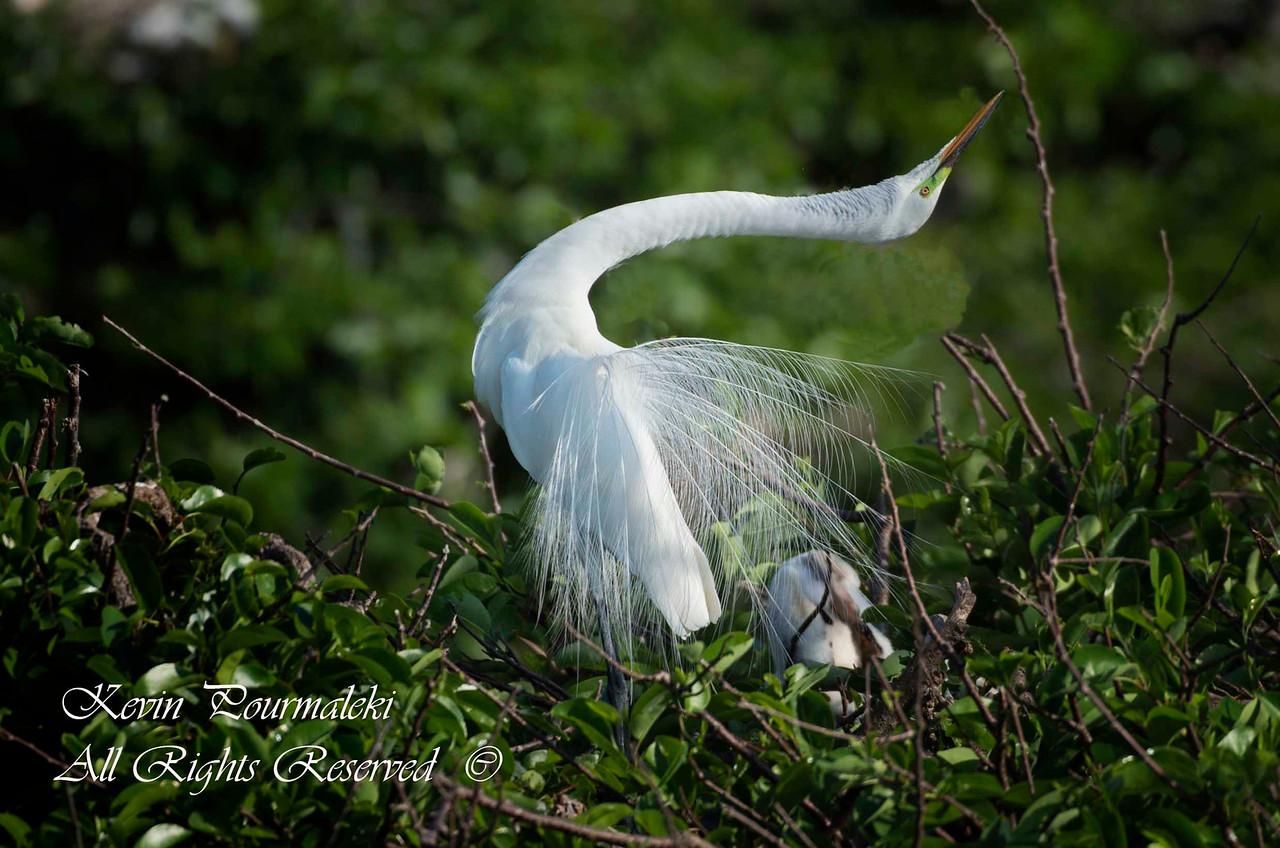 White Heron, South Florida.