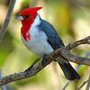 Brazilian Red Cap Cardinal, Hawaii