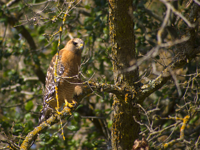 Red Shouldered Hawk next to Lafayette-Moraga Trail