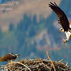Osprey Feeding.  Grand Teton National Park.