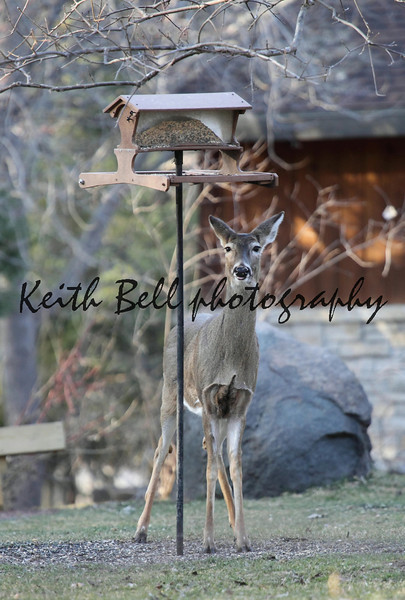 Photograph of a whitetail deer in the process of chewing at a bird feeder