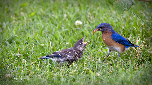 Daddy bluebird feeding baby bluebird