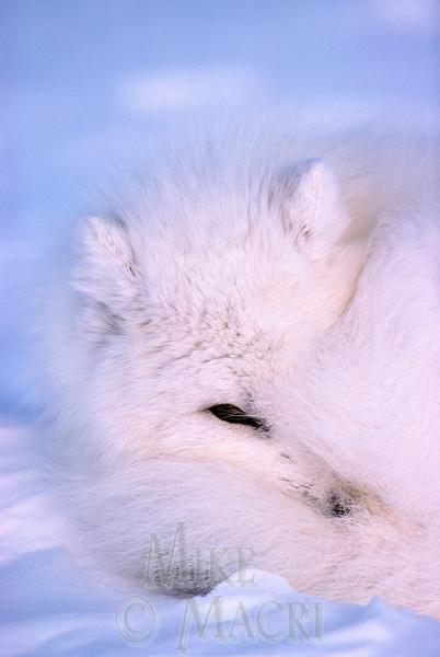 Arctic Fox at rest on tundra.