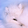 Arctic Fox at rest on tundra.